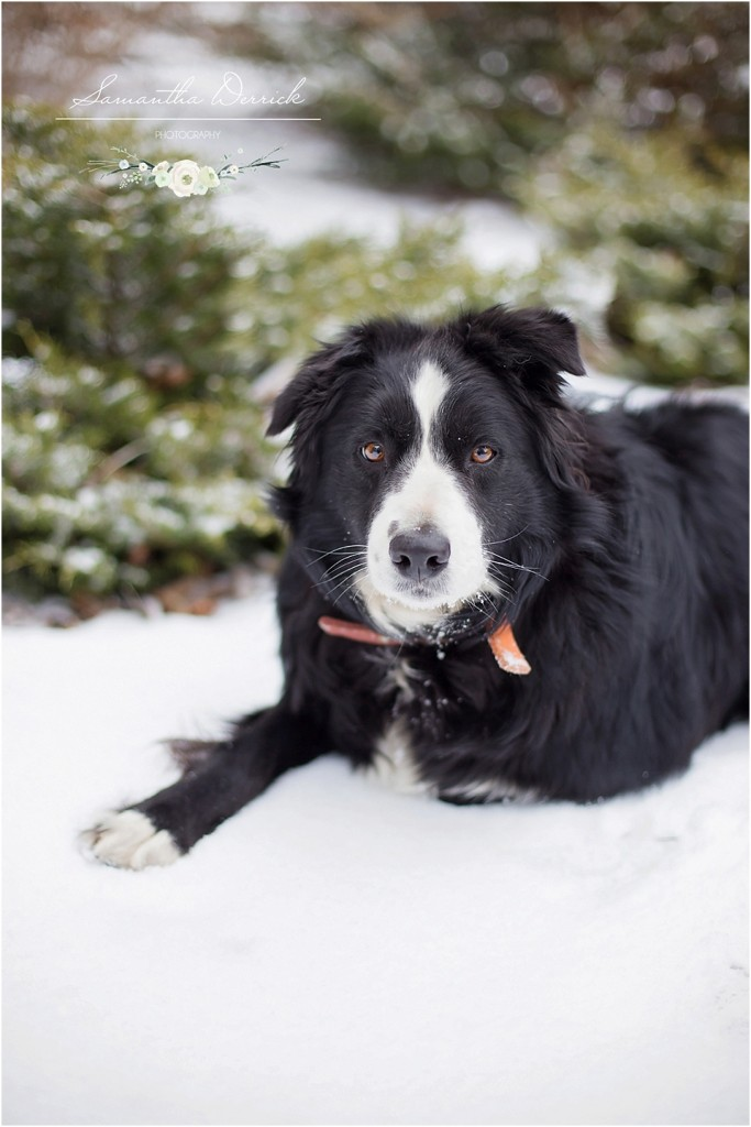professional pet photography of a collie dog