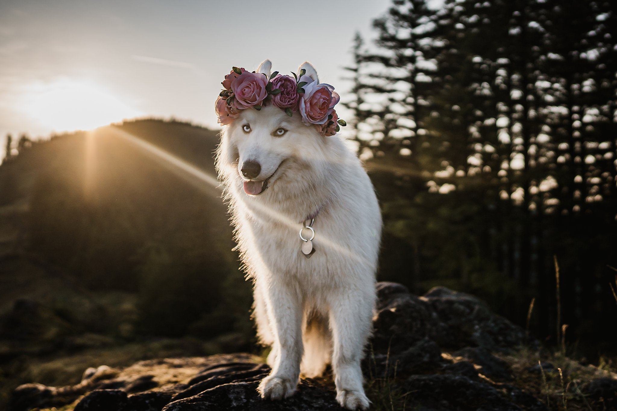 professional dog photography of a husky