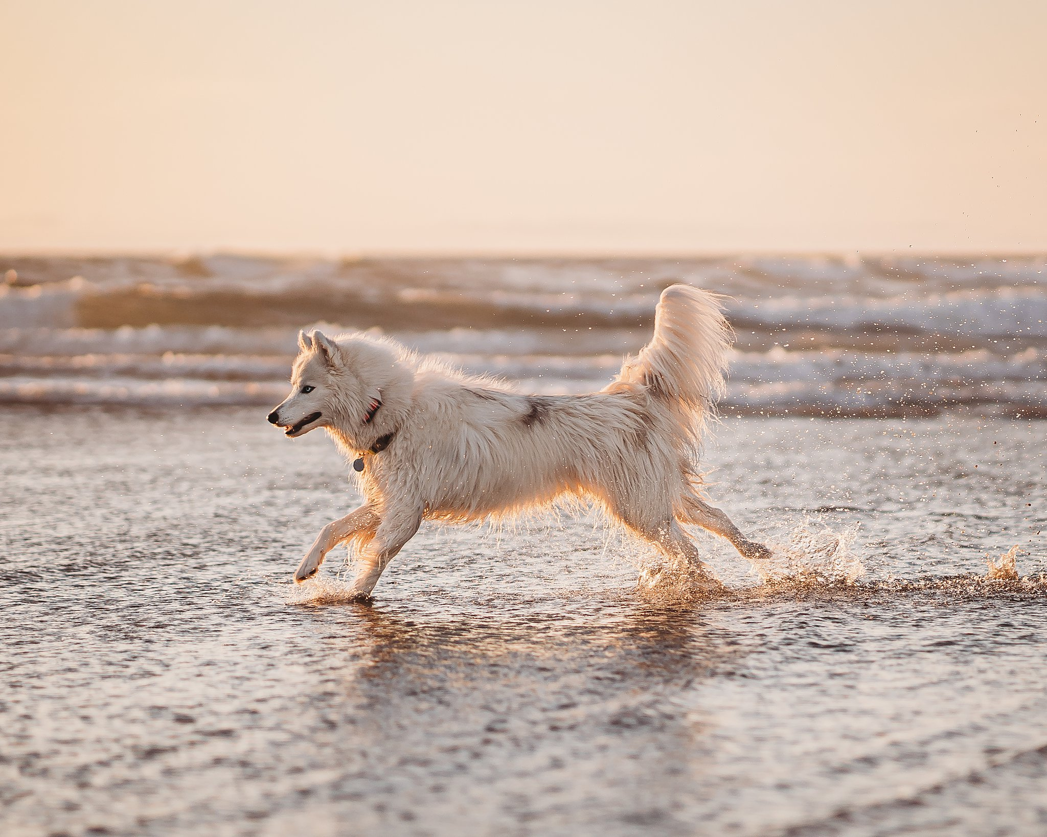 husky running in the water for a dog portrait