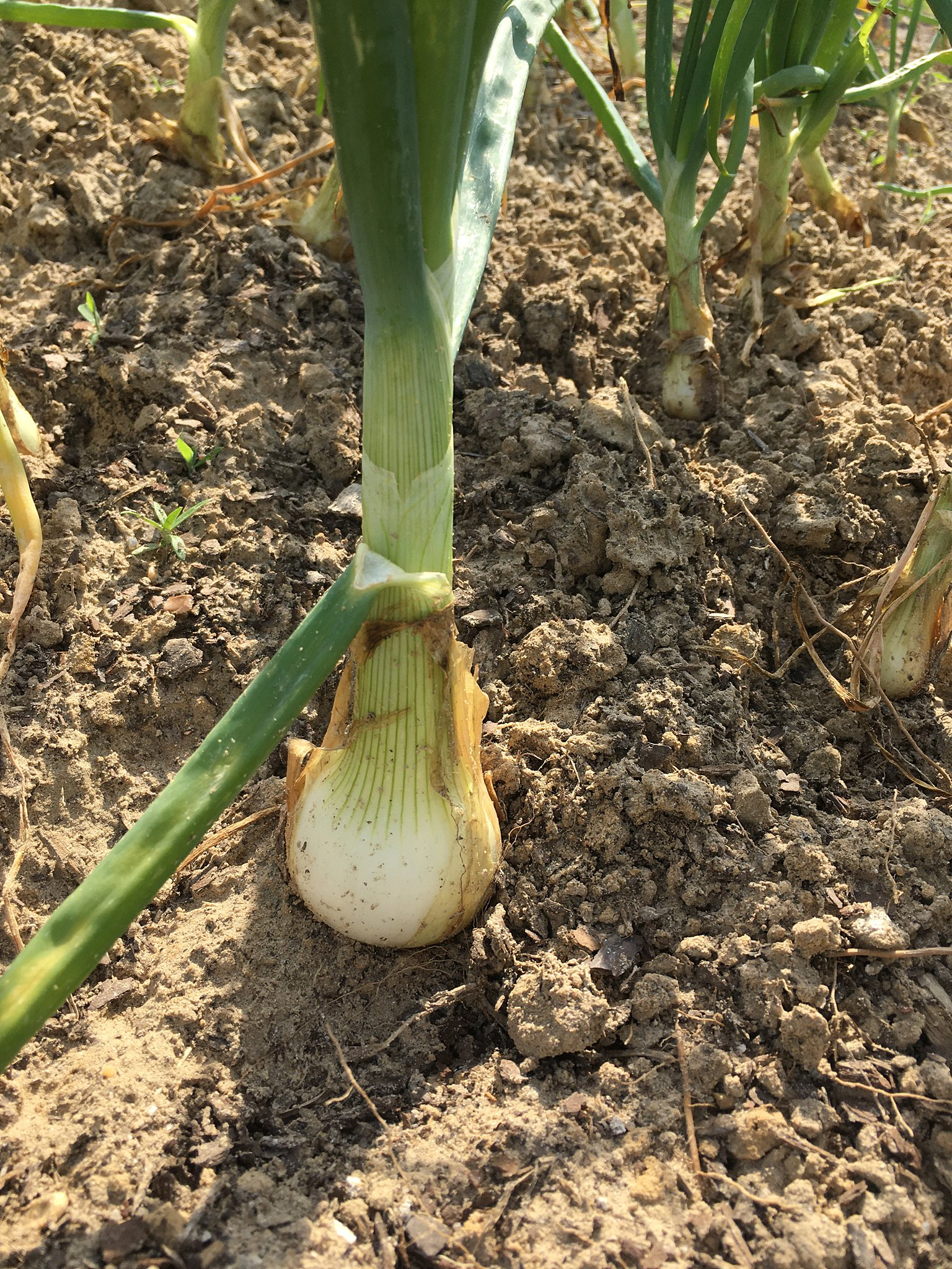 pulling the dirt away to let your onion bulb grow bigger