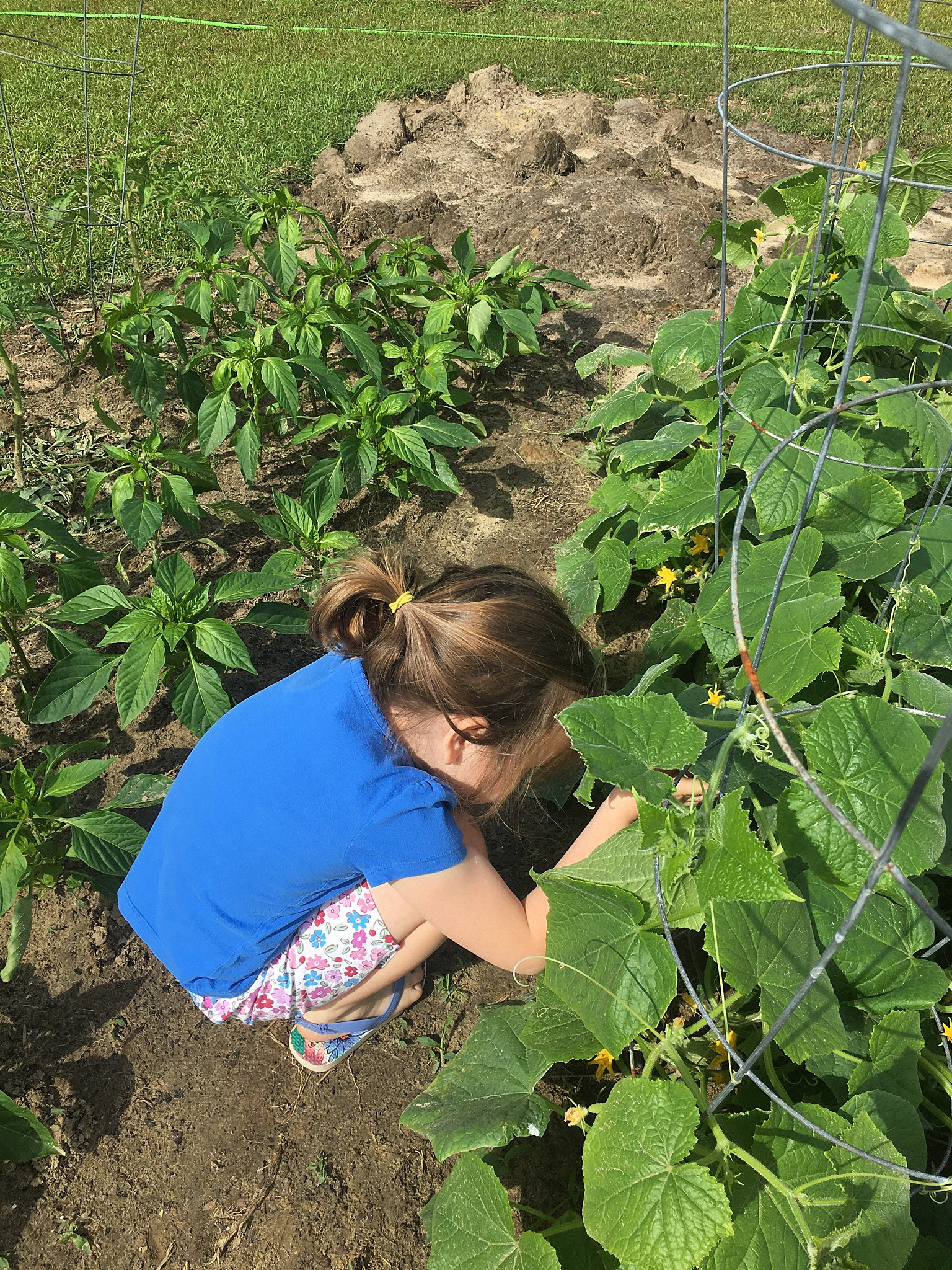 little girl picking cucumbers out of the garden