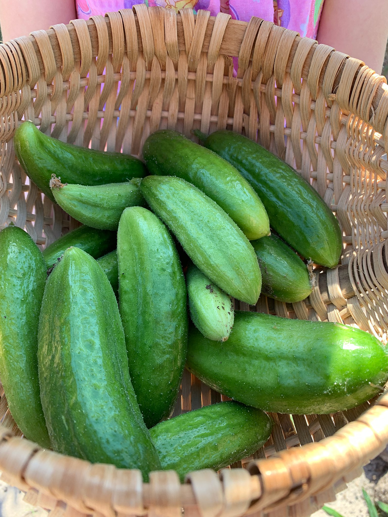 a basket of cucumbers for no cook pickles