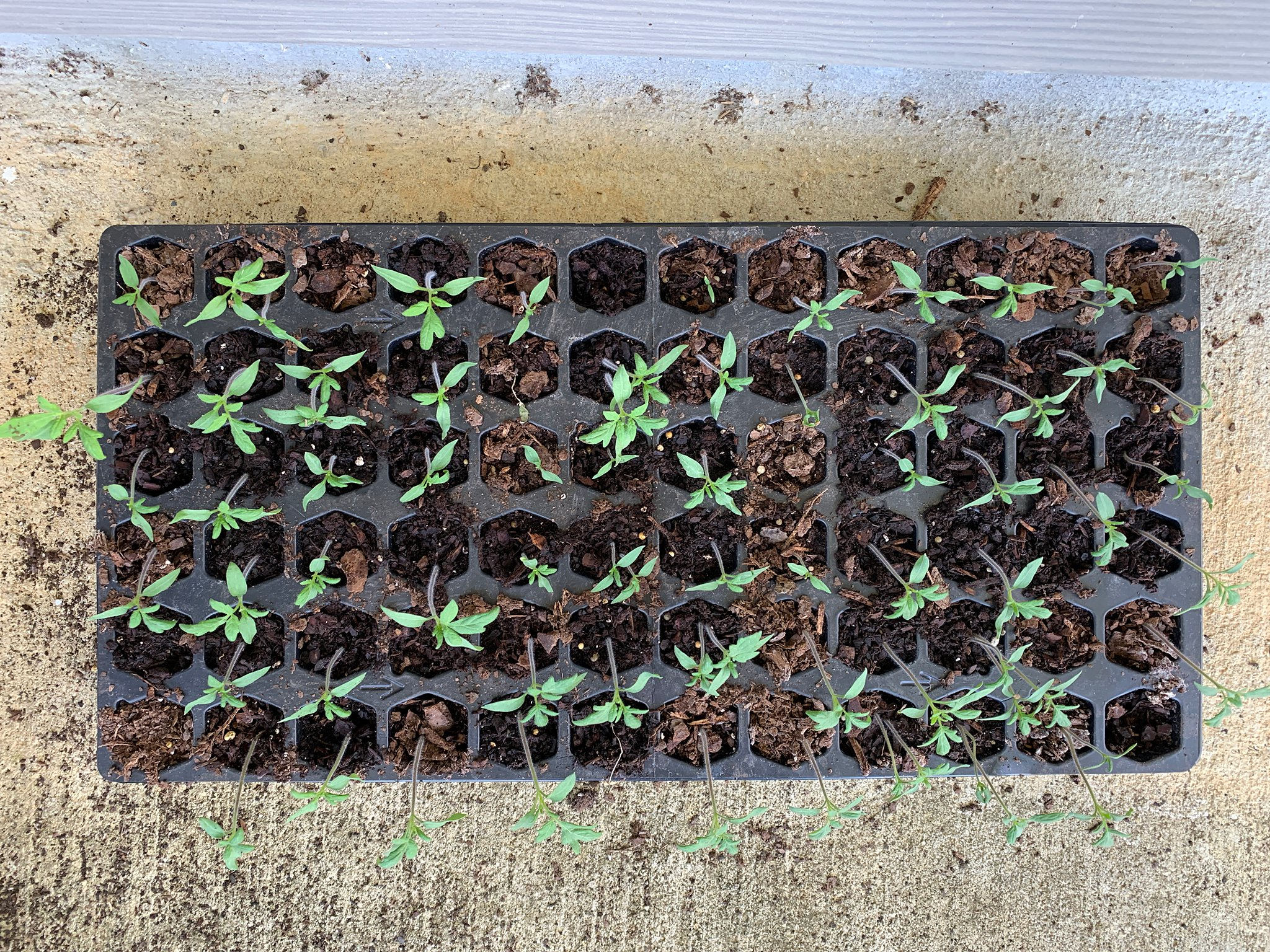 small tomato plants started from seeds