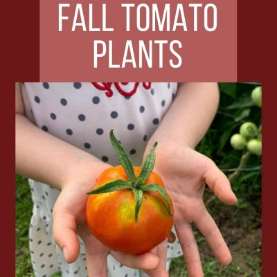 How to grow Fall Tomato Plants